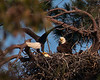 Baytown Bald Eagles : 25 galleries with 698 photos