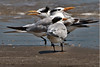 Royal Terns.