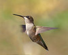 Ruby-throated Hummingbird.  When most of my acquaintances are saying theirs have left, for some reason this guy and a pal just showed up. This is an 8% crop of the full-sized picture.  400mm, ISO1000, F5.6, 1/1600 sec.  Handheld and exisiting light around 11 AM this morning.