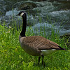 Canadian Goose at the exit of Cades Cove.