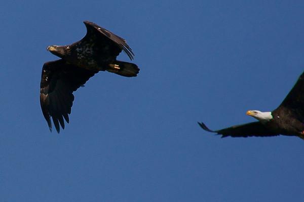 Baytown Bald Eagles